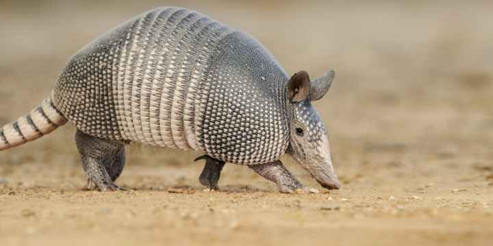 subject-armadillo
